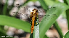 PB180096.jpg (Roger OZ) Tags: fauna dragonfly bugorinsect