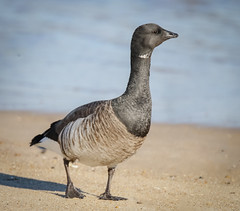 Brant Goose (tresed47) Tags: 2019 201902feb 20190205indianriverbirds birds brantgoose canon7dmkii content delaware folder goose indianriverinlet peterscamera petersphotos places season takenby us winter