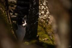 Profitons du beau temps (Manonlemagnion) Tags: chat animal felix noirblanc macro bokeh nature sousbois minou nikond810 105mm28