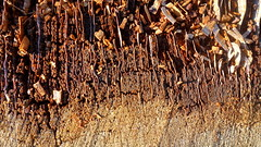 Souche (Esteban 86360) Tags: forêtdemoulière forêt forest moulière vienne 86 poitou france bois wood tree arbre tronc souche pin nature
