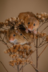 Harvest mice  21.02.19 (Lee Myers - aka mido2k2) Tags: green harvest mice mouse mammal small native wildlife uk countryside nature natural studio light portrait setup nikon d7100 flash strobe sigma macro 105mm cute smile happy fluffy rodent explore nikkor animal bird pet food springwatch bbcspringwatch eurasian micromys minutus brown