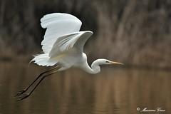 Airone bianco maggiore (Massimo Greco *) Tags: aironebiancomaggiore oasidialviano