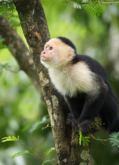 White-faced Capuchin Monkey (ashockenberry) Tags: ashleyhockenberryphotography animal reserve rica rainforest costa beautiful beauty nature naturephotography natural native majestic mountains mammal landscape light perch habitat omnivore travel tourism tropical tree monkey capuchin primate
