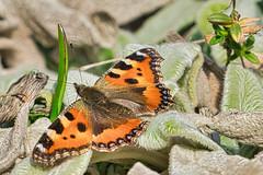 Schmetterling , Kleiner Fuchs (heiko bo) Tags: heikobo schmetterling falter insekt natur frühling frühlingserwachen isso insektensterben thüringen thüringerwald klimawandel heimat februar2019
