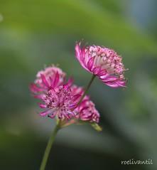 Zeeuws knoopje/Great Masterwort (roelivtil) Tags: astrantiamajor crazytuesdaytheme flowers greatmasterwort grootsterrenscherm zeeuwsknoopje fantasticflower pink