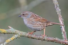 Dunnock looking for a mate (Rivertay07 - thanks for over 5 million views) Tags: bird riverstort harlow richardstead rivertay copyrightprotected dunnock prunellamodularis