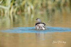 Splashing Least Grebe (Let there be light (A.J. McCullough)) Tags: texas texasbirds grebe leastgrebe esterollanogrande southtexas birds splashing
