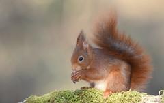 Ecureuil roux (Guillaume Dardant) Tags: nature sauvage animaux mammifères forêt bois loiret d810 500mmf4 nikon écureuilroux squirrel eurasianredsquirrel affût