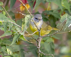 Mourning Warbler (Geothlypis philadelphia) (Frank Shufelt) Tags: mourningwarbler geothlypisphiladelphia parulidae warblers aves birds wildlife andes paraisoverde manizales caldas colombia southanerica 20190214 february 2019