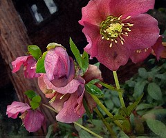 happy spring (giggie larue) Tags: flowers botanicals hellebore