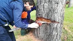 Ziriak sartzen (Derio Nekazaritza Eskola BHI) Tags: derio ziria nekaderio pinua pino talado ikasleak insignis errekalde