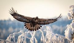 Flight of the Eagle (MrBlackSun) Tags: flight eagle goldeneagle flightoftheeagle eagleflight nikon d850 finland lapland kuusamonaturephotography kuusamo nature photography winter forest 2019
