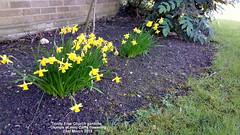 Trinity Free Church gardens - Clumps of mini-Daffs flowering 23rd March 2019 (D@viD_2.011) Tags: trinity free church gardens clumps minidaffs flowering 23rd march 2019