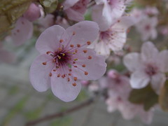 spring blossoms (Elisabeth patchwork) Tags: blüten blossoms zierstrauch naturephotography