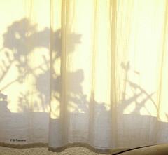 Primavera en mi ventana. Spring in my window. (Esetoscano) Tags: ventana window siluetas silhouettes sombras shadows visillo netcourtain sol luz light primavera spring esetoscano