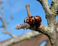 Harmonia axyridis (rockwolf) Tags: harmoniaaxyridis harlequin ladybird coccinelle beetle coccinellidae coccinelleasiatique insect uptonmagna shropshire rockwolf
