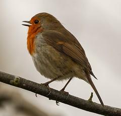 Robin (dainesefreak) Tags: sony sigma150600 robin bird sonyilce7m3 nature wildlife