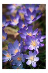 Field of Purple Flowers - Chanticleer - Wayne PA_Web 1_Scaled-XE (johann.kisaame) Tags: bokeh botanicalgardens chanticleergardens fineart flower flowers gardens impressionistic light luminance pennsylvania philadelphia philadelphiasuburbs purple purpleflower shadows sunlight yellow artistic blur ethereal magical violet topf25