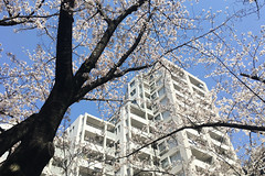 untitled (t-miki) Tags: cherryblossom itabashi tokyo 板橋 東京 桜 architecture