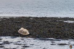 Petite sieste dans l'anse de Saint Anne du Portzic. (Kambr zu) Tags: erwanach kambrzu finistère bretagne tourism ach sea merdiroise paysagesmythiques leportzic sainteanne radedebrest phoquecommun veaumarin phocidés mammifère océanopolis