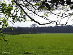 So green (mark.griffin52) Tags: olympusem5 england hertfordshire ashridgeestate pasture grass green parkland countryside spring landscape