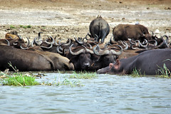 Bathing Buffalo (pbr42) Tags: africa uganda queenelizabethnationalpark nationalpark hdr water lake crater h2o kazinga kazingachannel animal buffalo horn hippo hippopotamus nature