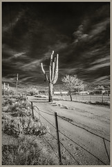 Sabino Canyon IR #34 2019; Why Did the Cactus Cross the Road (hamsiksa) Tags: arizona tucson pimacounty sonorandesert santacatalinamountains coronadonationalforest roads dirtroads desertplants xerophytes succulents cacti cactus cactaceae saguaros carnegieagigantea blackwhite landscapedesertscapeinfrareddigital infrared