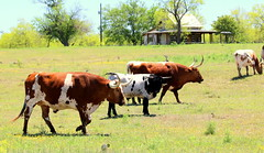 Texas Longhorns (austexican718) Tags: centraltexas hillcountry ranch cattle longhorn rural cow herd grass trees sky animal gillespiecounty architecture