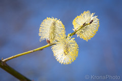 Salix in springmood, Norway (KronaPhoto) Tags: macro 2019 vår natur salix selje tree flowers pollen nature dusty soft decorative spring