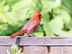 Male Northern Cardinal (mjvardy) Tags: northerncardinal cardinaliscardinalis torontoontariocanada bird cardinal
