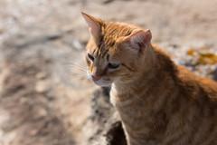 IMG_3453 Rubio, Mallorca (Fernando Sa Rapita) Tags: baleares canon canoneos eos6d mallorca rubio sarapita sigma sigma35mm sigmaart sigmalens animal cat gatito gato kitten mascota pet