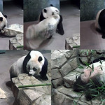 Mei Xiang (Yum, treats! Hmmm, wonder what those words say? I hope it doesn't say