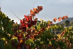 Els Nou Jornals (esta_ahi) Tags: santmartísarroca vinya viña viñedo vineyard vitisvinifera penedès barcelona españa spain испания
