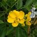 決明屬 Cassia leptophylla  [紐西蘭 Russell, New Zealand]