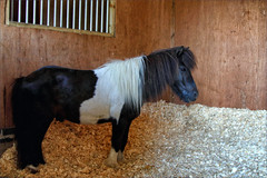 Walter I (meniscuslens) Tags: walter shetland pony rescue charity horse trust aylesbury high wycombe princes risborough buckinghamshire stable