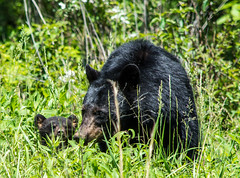 Mama bear and cub (TDog54Photography / TCS Photography) Tags: black bear bears smoky mountains tennessee cades cove wildlife wild life animal american north america ursus americanus animals forest national park great cubs cub