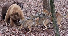 brown bear and Europaen wolf Ouwehands 094A0587 (j.a.kok) Tags: bear beer bruinebeer brownbear europe europa europeanwolf europesewolf wolf animal ouwehands mammal zoogdier dier predator
