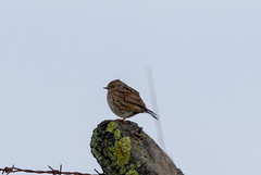Common Reed Bunting (Liam Waddell) Tags: bird bogside sssi irvine ayrshire scotland sky