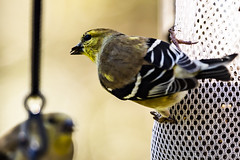 BackyardBirds_1-21-19-32 (RobBixbyPhotography) Tags: florida goldfinch jacksonville backyard birds