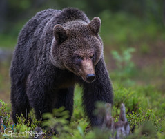Power & Authority (GunnarImages (Gunnar Haug)) Tags: mother brownbear power wildlife cute blueberry nordic green brown mammal finland forest