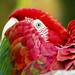 Birmingham Zoo 09-29-2017 - Scarlet Macaw 3
