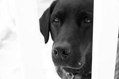 Maggie (nicolemonsees) Tags: maggie winter season snow outside outdoors nature dog animal pet blacklabrador labrador blackandwhite