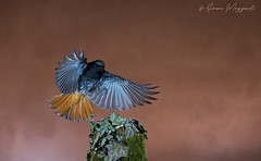 Banzai... (Simone Mazzoccoli) Tags: wild wildlife nature bird birds animals animal birdwatching fly landing background outdoor