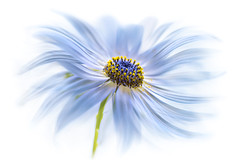 Cape Daisy (Mandy Disher) Tags: daisy blend layers