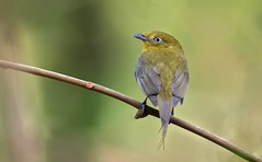 Pipra filicauda - Wire-tailed Manakin - Saltarín Uirapuru - Saltarín Cola de Alambre female 08 (jjarango) Tags: avesdecolombia aves avistamiento birding birdwatching birdingcolombia birds birdsorcolombia