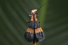 Calopteron sp. (Lycidae) (Scrubmuncher) Tags: calopteron beetle lycidae macro insect nature osapeninsula