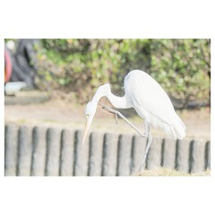 チュウサギ (HAL_SYLPH) Tags: bird animal nature wildlife xh1 xf100400mm fujifilm pronegastd