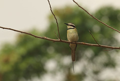 White-throated bee-eater, Abrafo Forest Road, Ghana (inyathi) Tags: africa westafrica ghana africanwildlife africananimals africanbirds birds whitethroatedbeeeater meropsalbicollis beeeaters abrafoforest kakumnationalpark