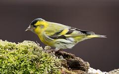 Siskin(Male) (kevinclarke1969) Tags: garden birds finch siskin feeding feeder winter visitor