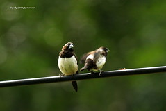 IMG_6227 White-rumped Munia (Lonchura striata) (vlupadya) Tags: greatnature animal aves fauna indianbirds whiterumped munia lonchura kundapura karnataka